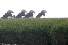 توانستیم بر بحران خشکسالی در مزارع نیشکر غلبه کنیم