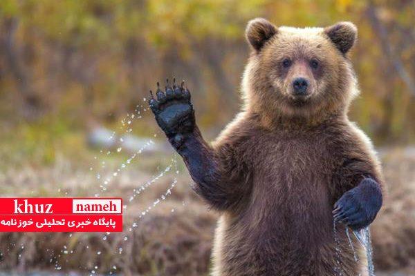 زیستگاه خرسهای قهوهای خوزستان تخریب می شوند