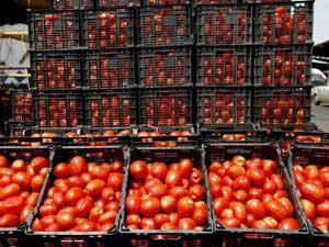 آغاز خرید حمایتی گوجه فرنگی از کشاورزان خوزستان