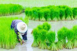 رفع ممنوعیت کشت برنج به شرط مصوبه شورای آب استان
